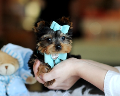Chiots Teacup Yorkie pour adoption